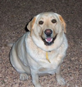 Amy's companion Sandy (Labrador) missing since Saturday