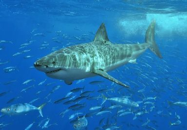 White_shark Terry Goss