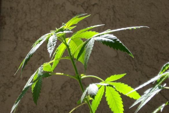 _cannabis-vegetative-growth-c